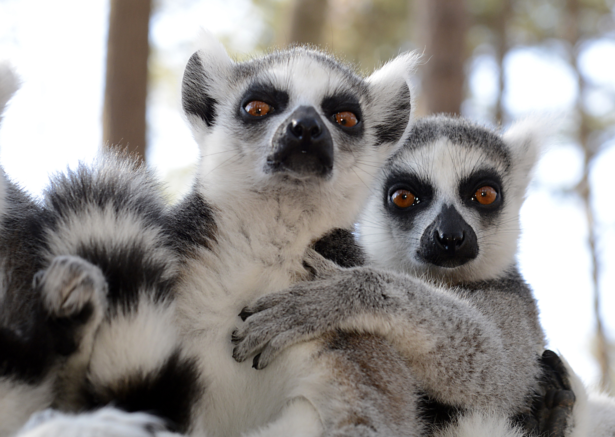 Researchers at Duke University have found that lemurs can pick up on weakness in others through their natural scent.