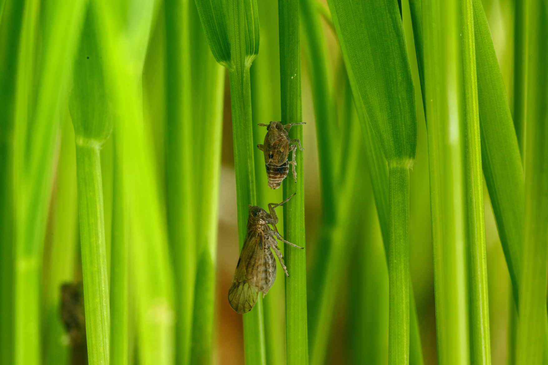 The quality of the host plant is responsible for wing growth and migratory behavior among brown planthopper insects.