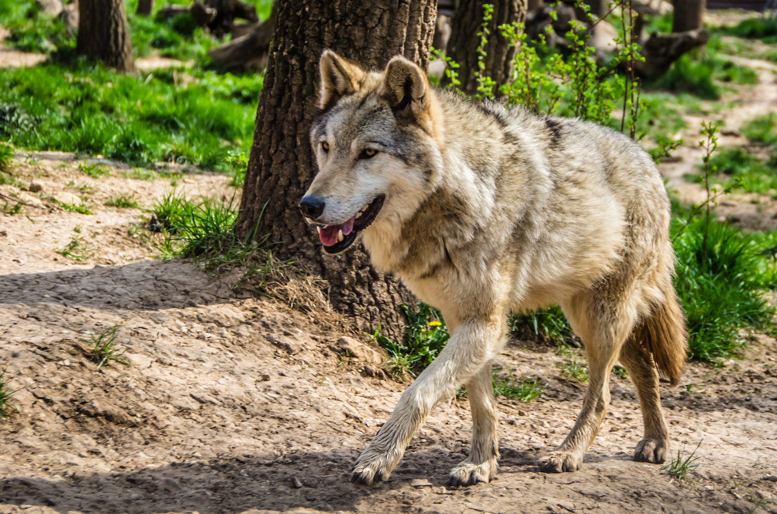 A recent study has found that wolves are flourishing in the radioactive, human-free Chernobyl Exclusion Zone (CEZ).
