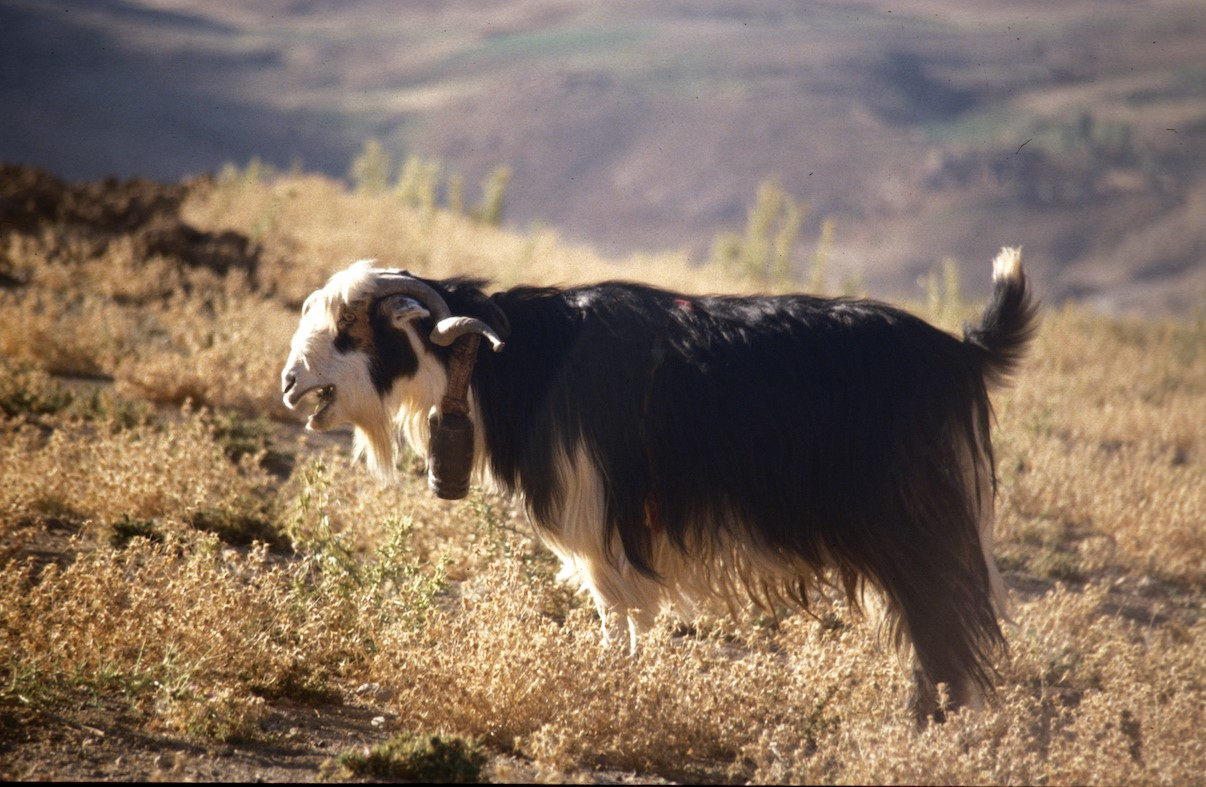 Goats were one of the first animals that early humans domesticated, kept close as a source of meat, milk, and hides.