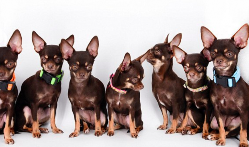 The world's smallest dog, holding the Guinness record since 2012, has recently received a new world record for being cloned 49 times.