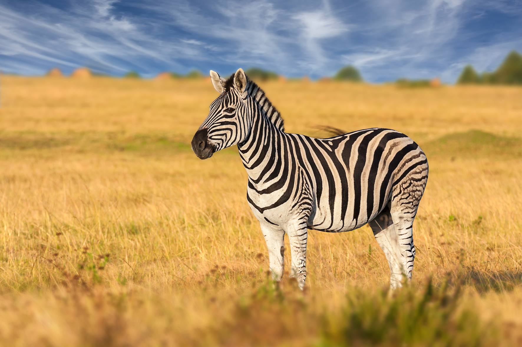 Researchers have found evidence that contradicts the theory that black and white stripes keep zebras cool in the hot sun.