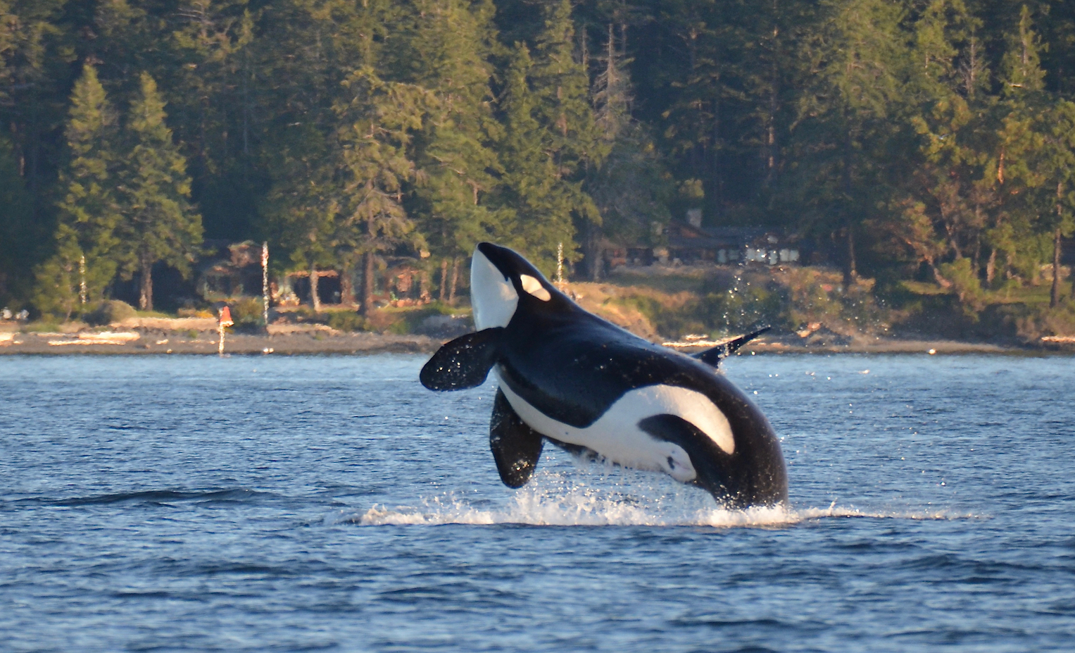The endangered Southern Resident killer whale of the Pacific Northwest has been in a state of steady decline in recent years.