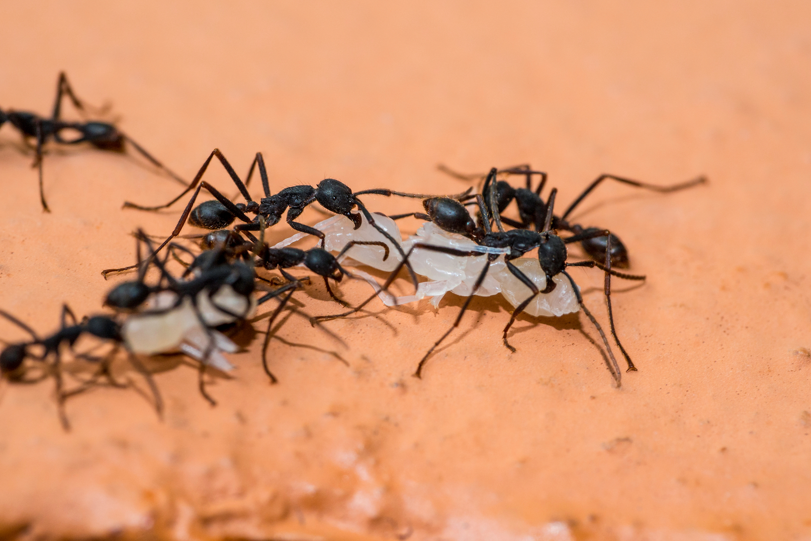 Army ant soldiers may be bigger than other ants in the group, but it turns out their brains are relatively small for their size.