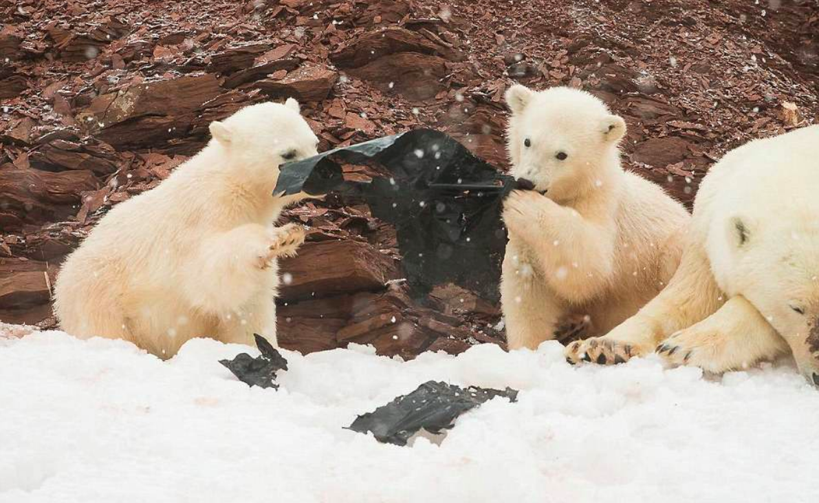 Images of two small polar bear cubs playing with a large piece of black plastic were captured along the coast of the Norway.
