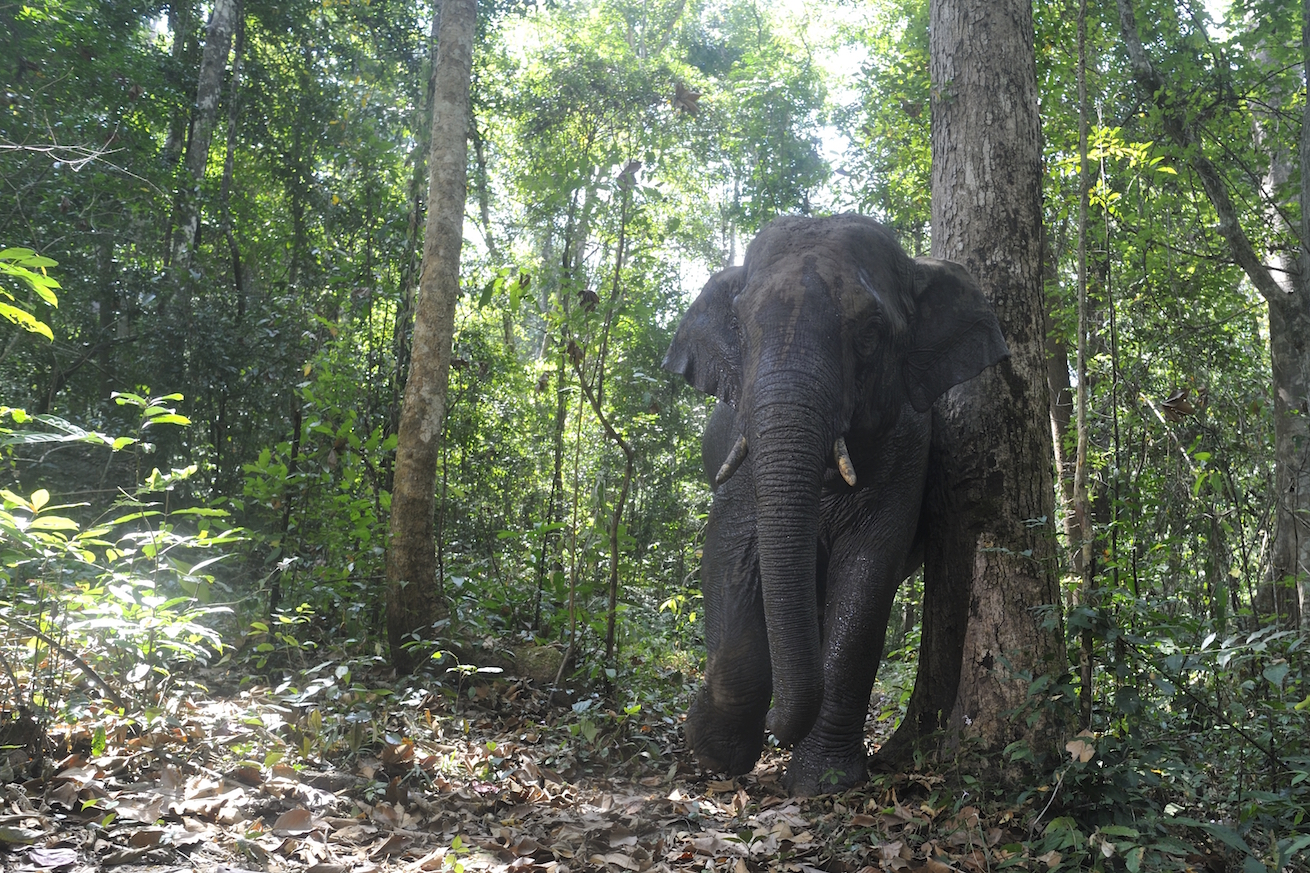 "In the forests of Thailand, elephants play this critical role for the forest tree Platymitra macrocarpa, which bears 3-5"" long fruits."