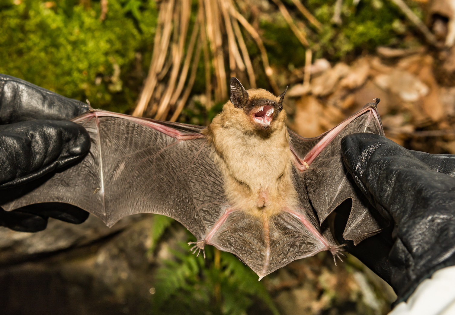 A stud found that white-nose syndrome affects seven species of bats and has caused regional population collapses.