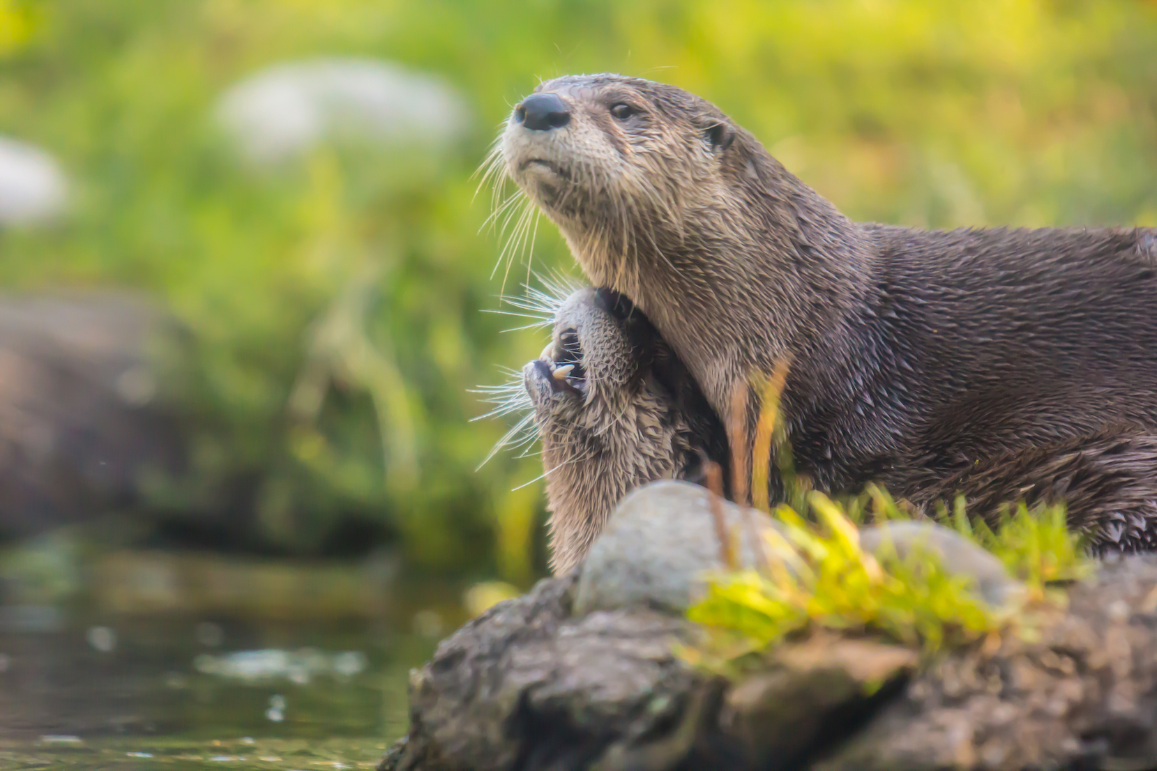 The North American river otter has become increasingly common in Illinois ponds and rivers, and has even been spotted in Chicago.