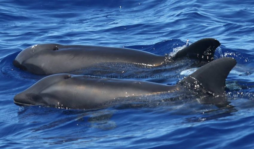 New Species Alert? Rare Dolphin-Whale Hybrid Spotted In Hawaii