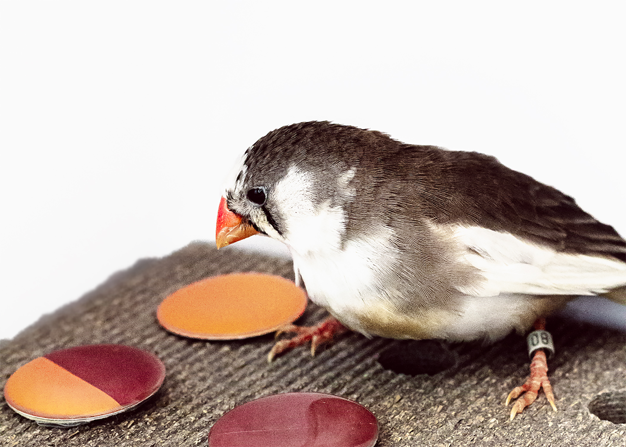 A new study found female zebra finches are able to distinguish different shades of orange or red and when it comes to the ideal mate.