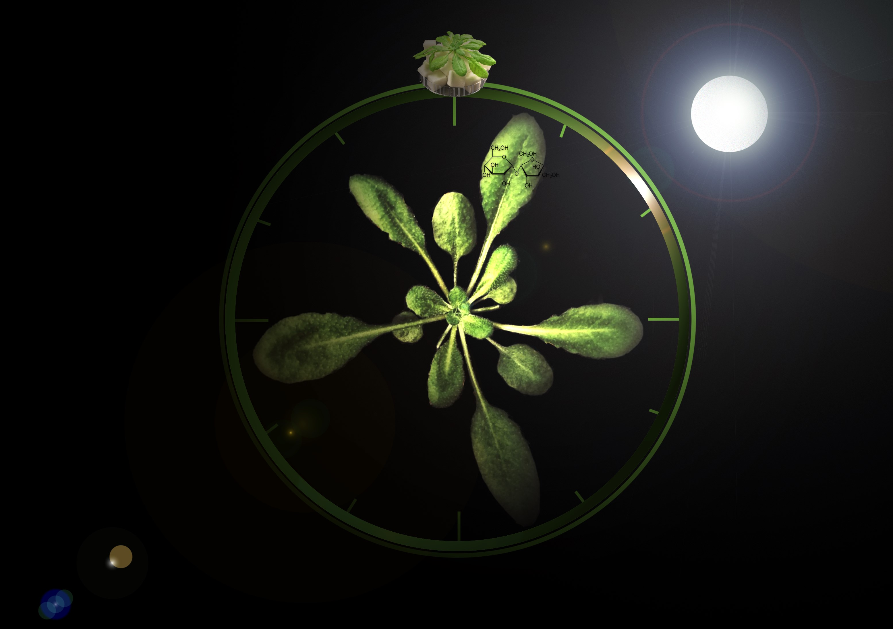 According to a new study, plants regulate their circadian rhythms by continuously measuring the amount of sugars in their cells.