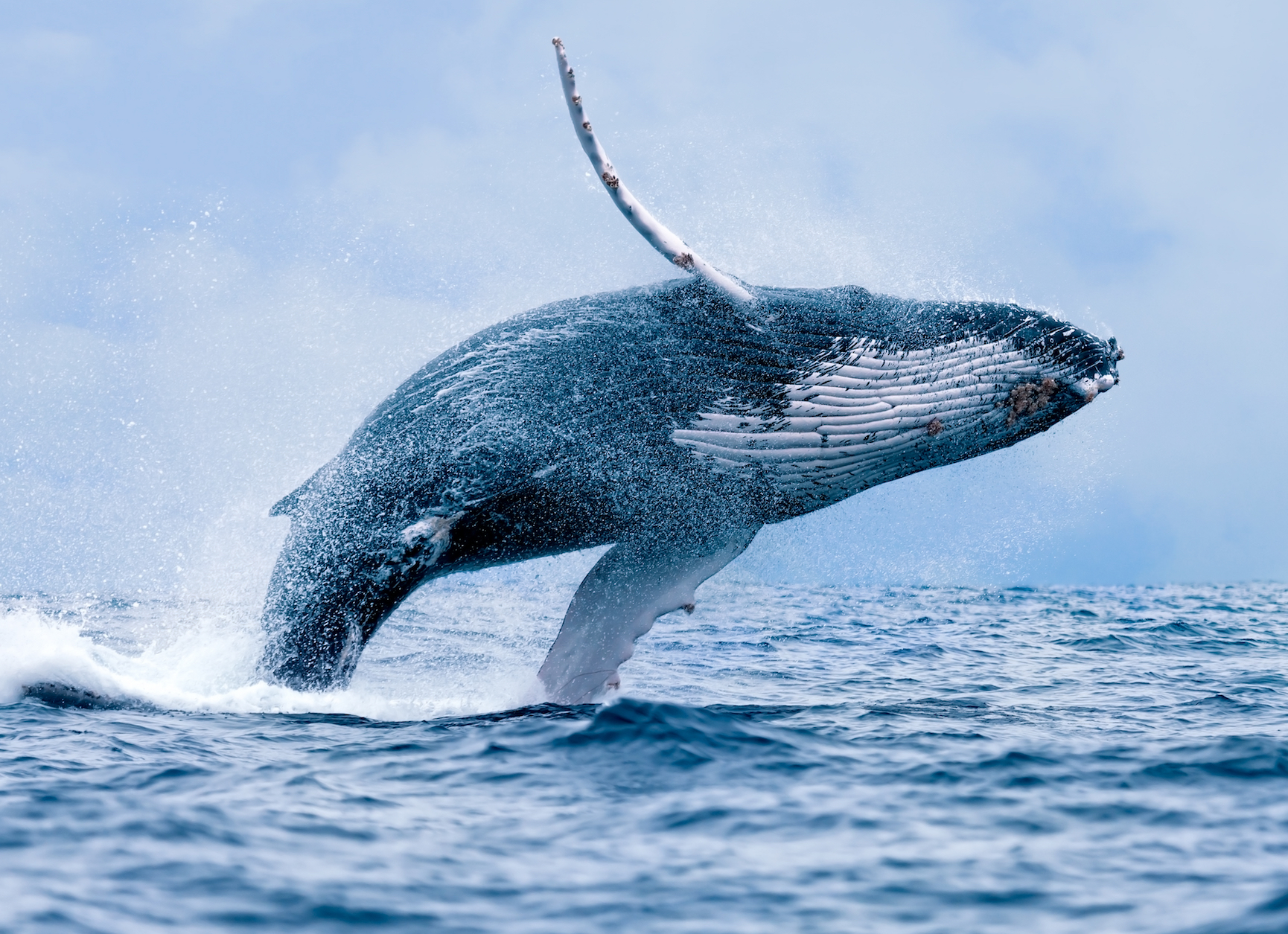 New research claims that rather than singing to attract a mate, whales actually sing as a form of echolocation.