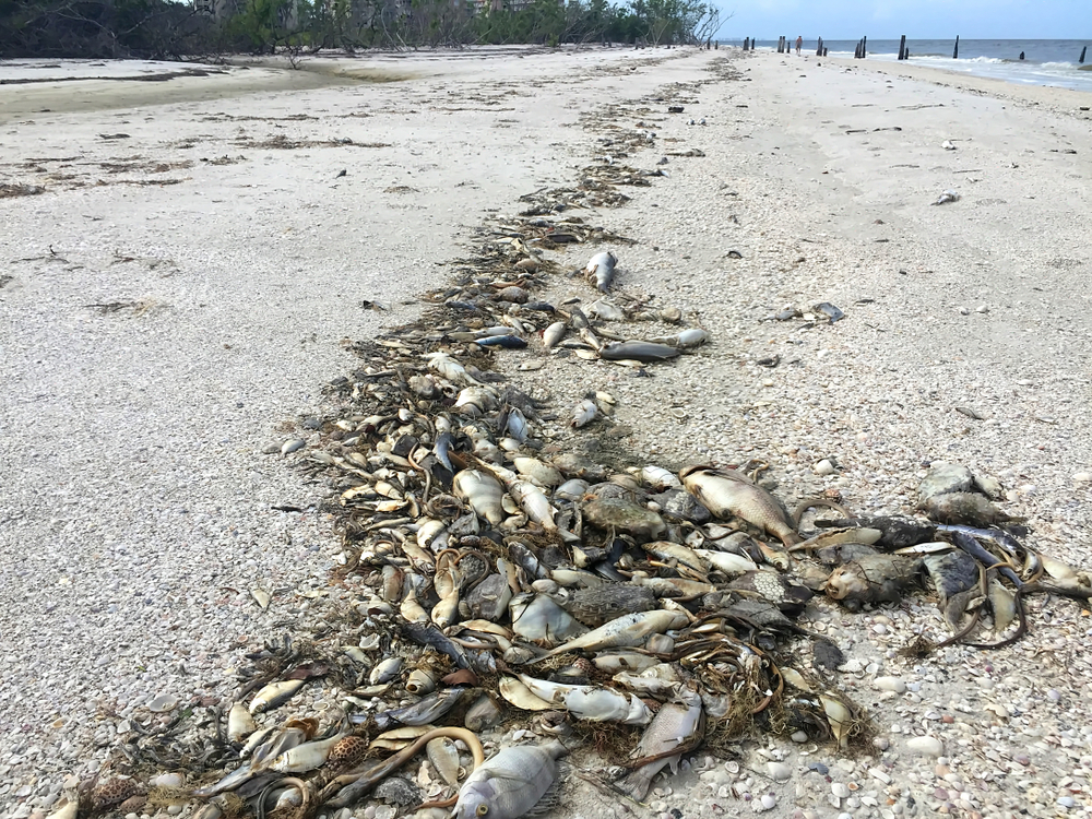 Dead fish litter a beach in Fort Myers, Florida. A lingering red tide off Florida's southwest coast has killed hundreds of fish, turtles and other sea life in recent weeks.