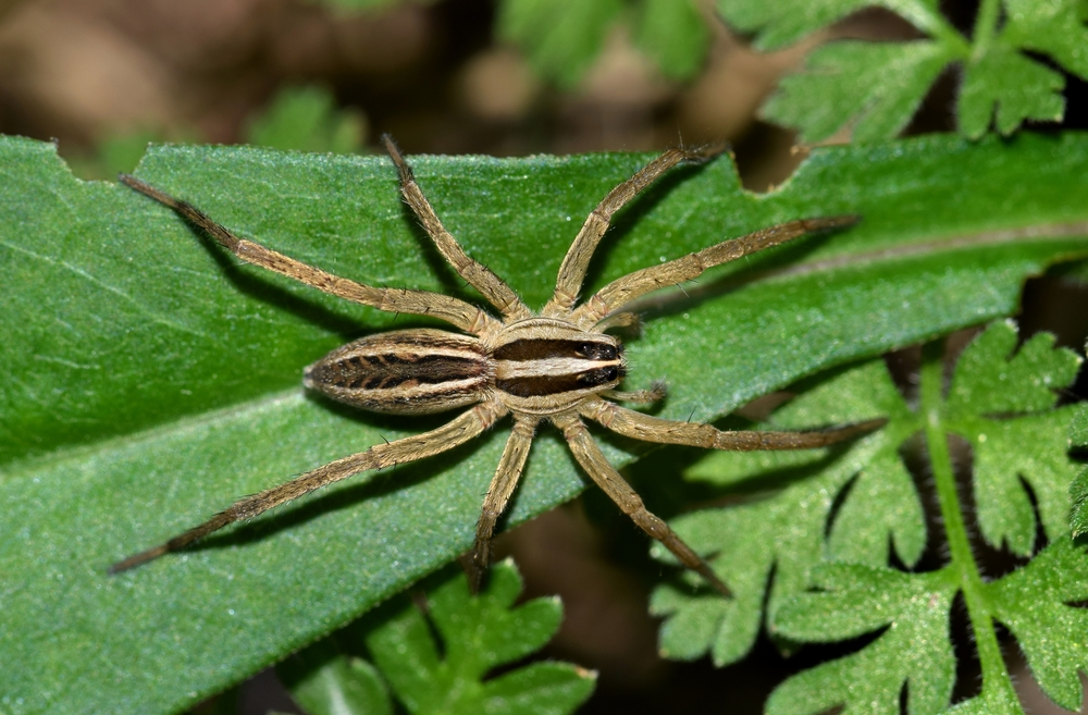 Wolf spiders are drawn to the color green thanks to how their vision functions, a new study has found.