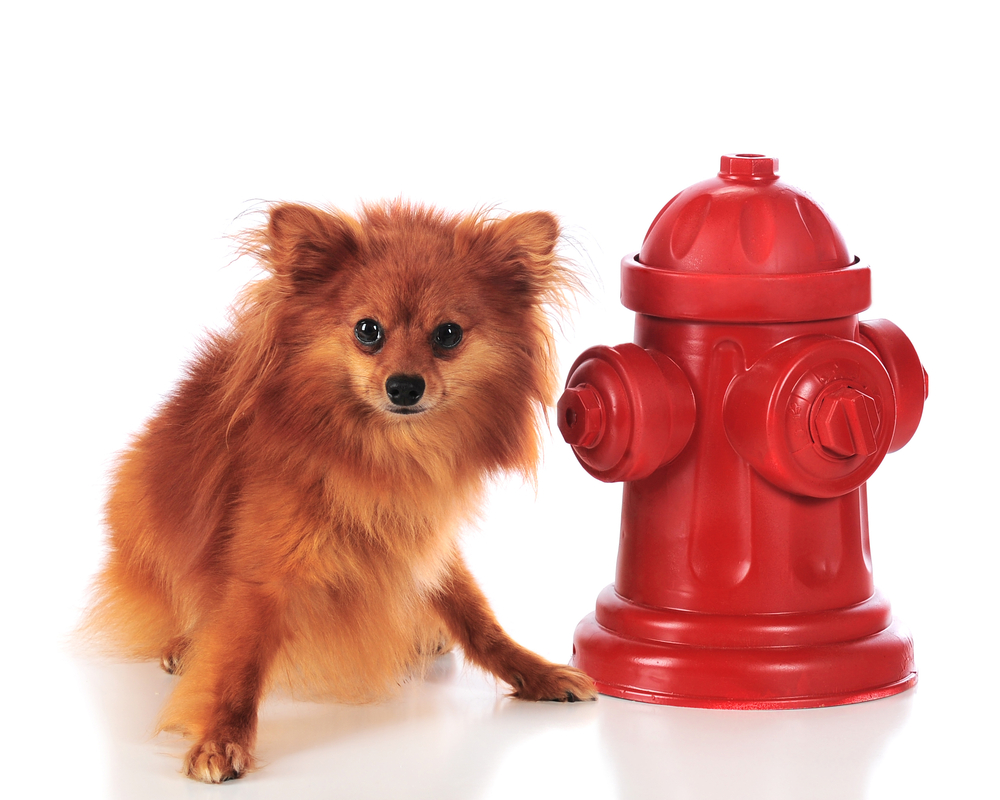 When it's time use the hydrant, small dogs aim high, a possible sign of short dog syndrome, scientists say.
