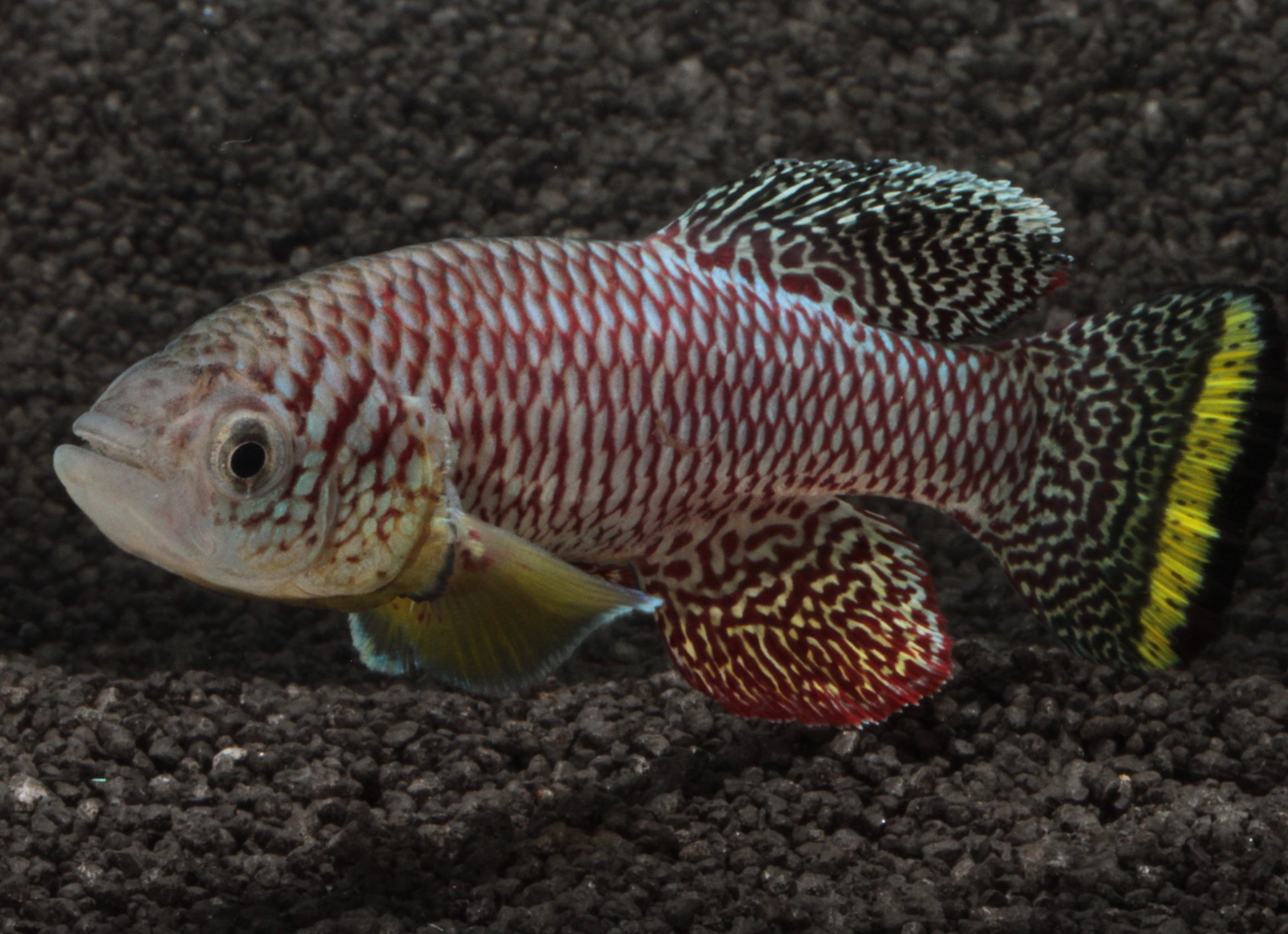 Researchers have discovered that the African killifish is the fastest maturing vertebrae on the planet, reaching its full size in two weeks.