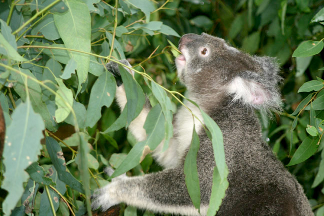 A research team led by the University of Illinois has focused a study on koalas to investigate endogenous retroviruses.