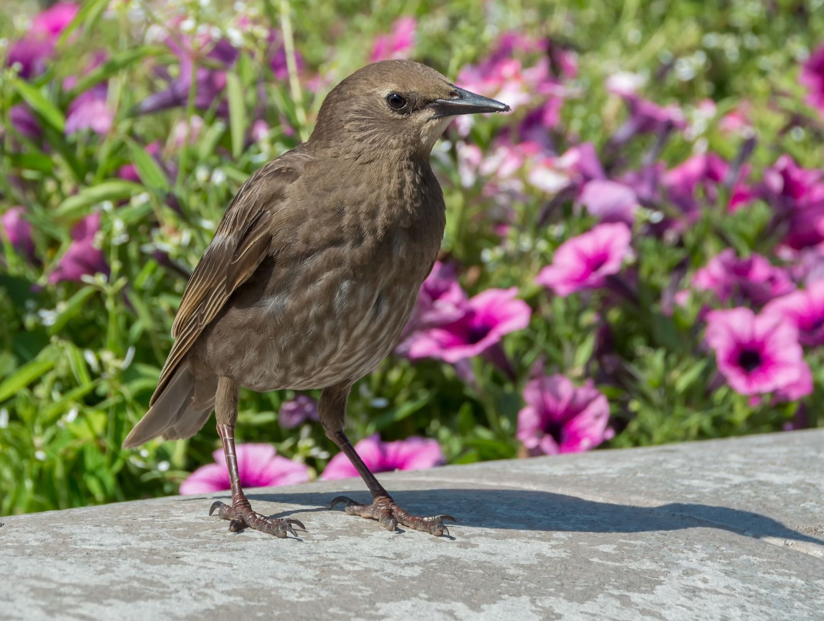 Antidepressants found in sewage treatment systems are affecting the mating habits of starlings in the UK, according to a new study.