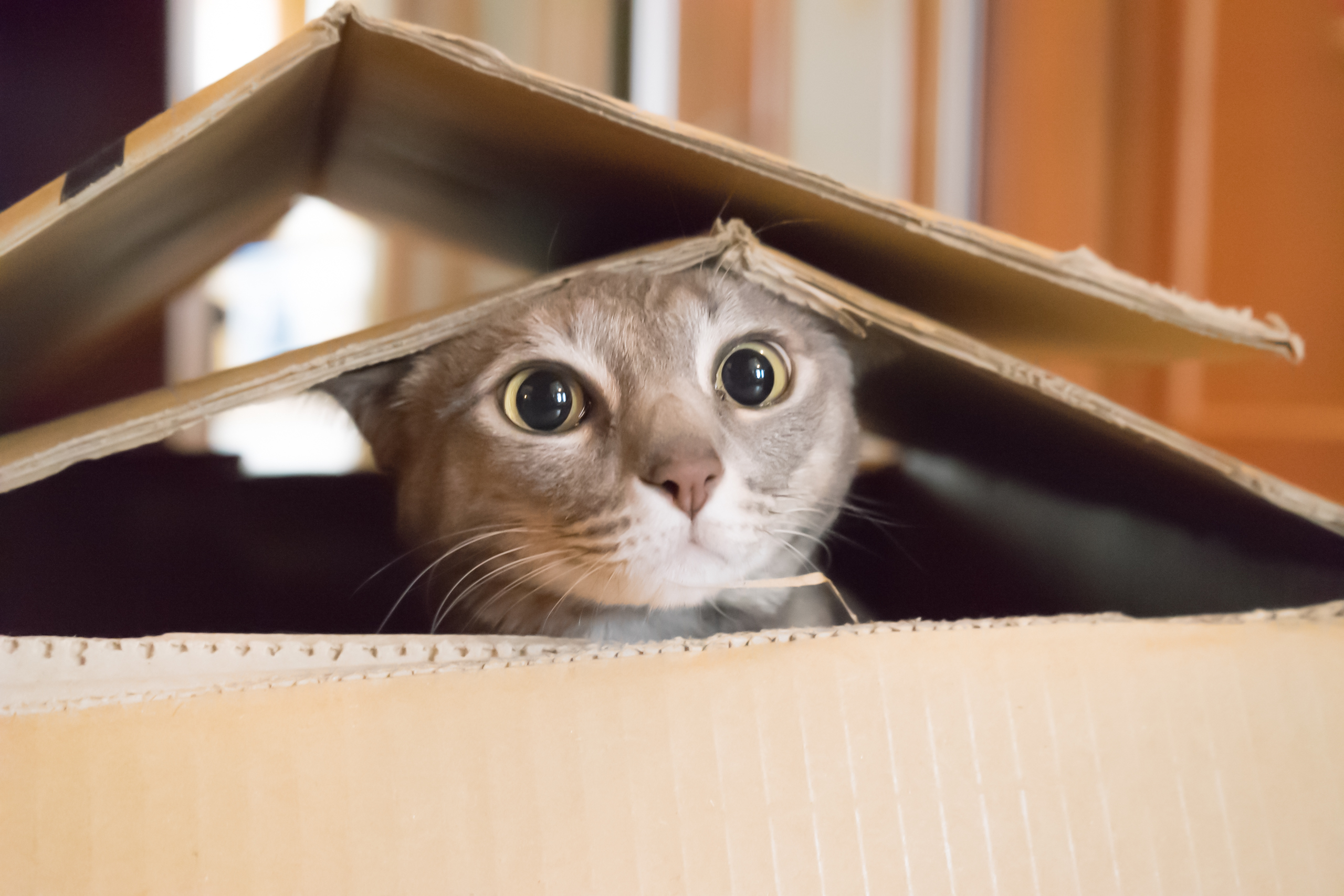 Cats seek out the comfort that a cardboard box can afford and are drawn to small, den-like spaces where they can curl up and feel secure.