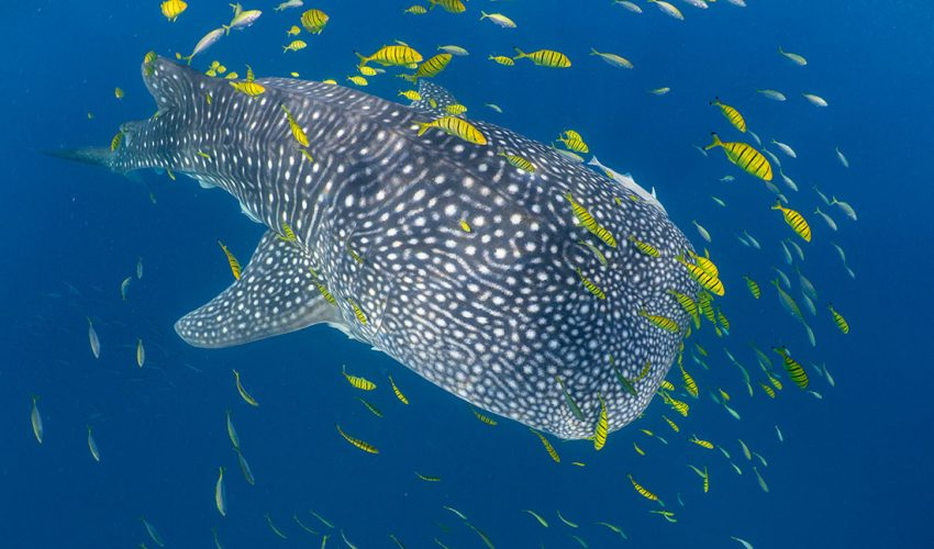 Researchers found that whale sharks, which are the largest fish in the world, do not actually venture out as far as previously thought.