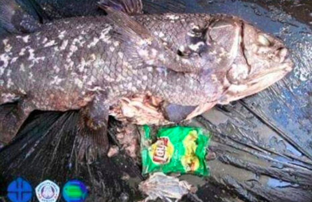 An iconic fish that dates back before the dinosaurs has become the latest subject of outrage by campaigners against marine plastic litter.