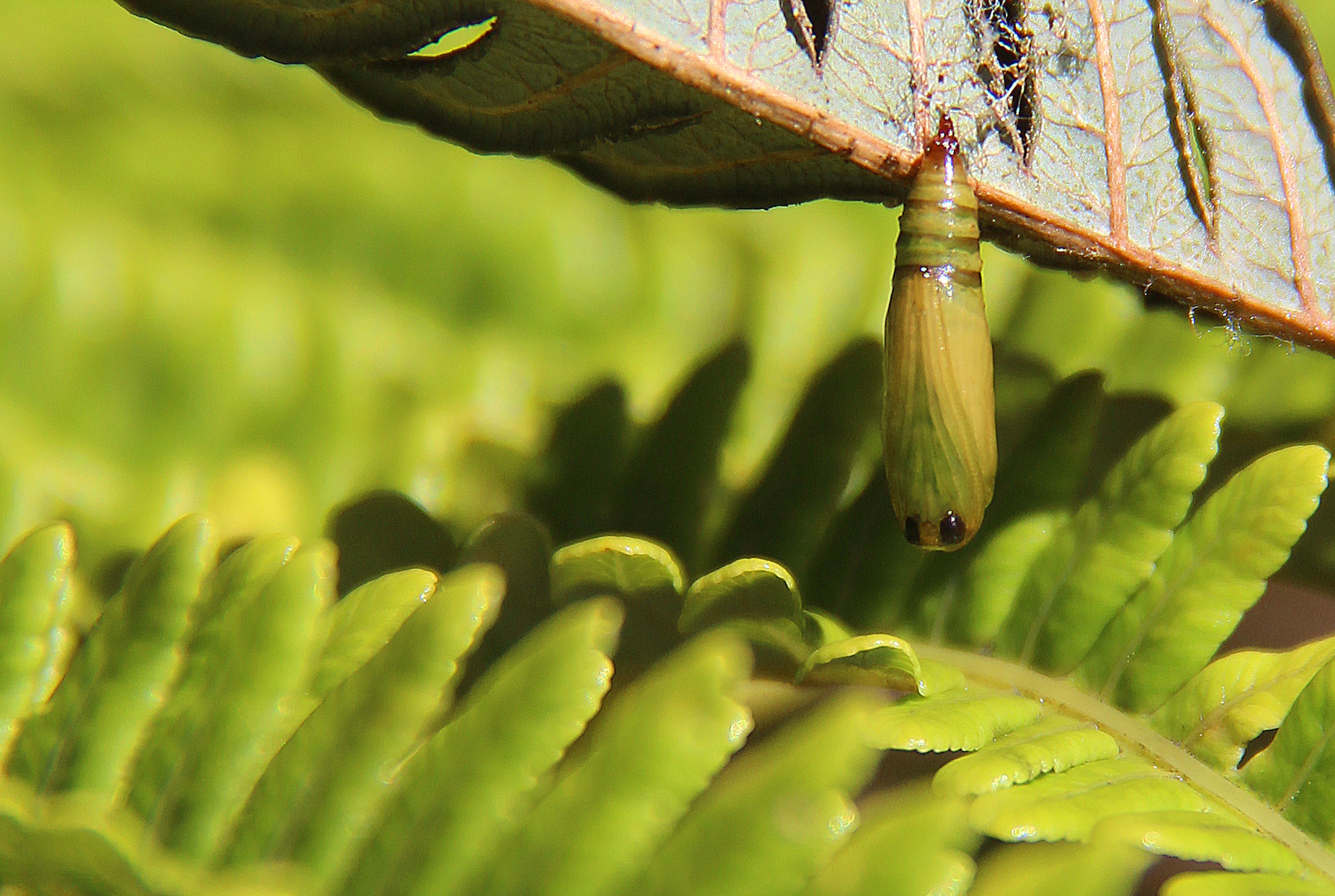 While most people probably view caterpillars as benign creatures, these carnivorous caterpillars are on the hunt.