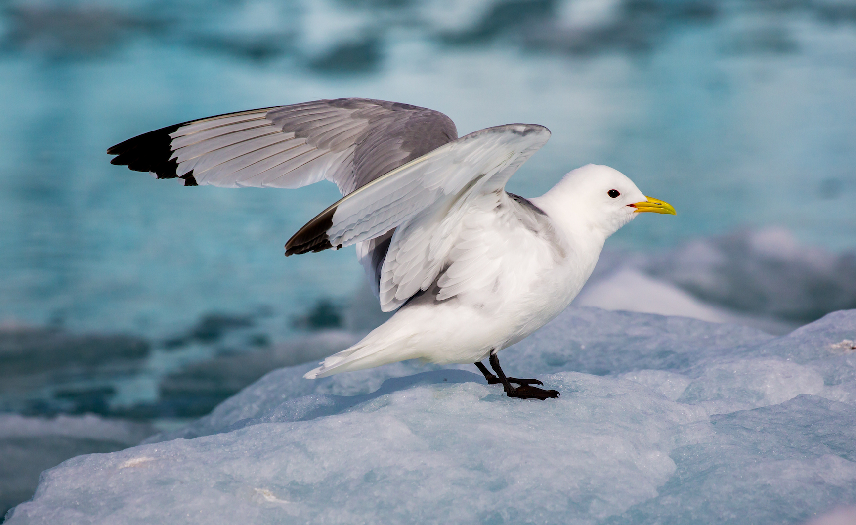 Researchers have found evidence that the warming ocean is both directly and indirectly affecting seabird populations in Alaska.
