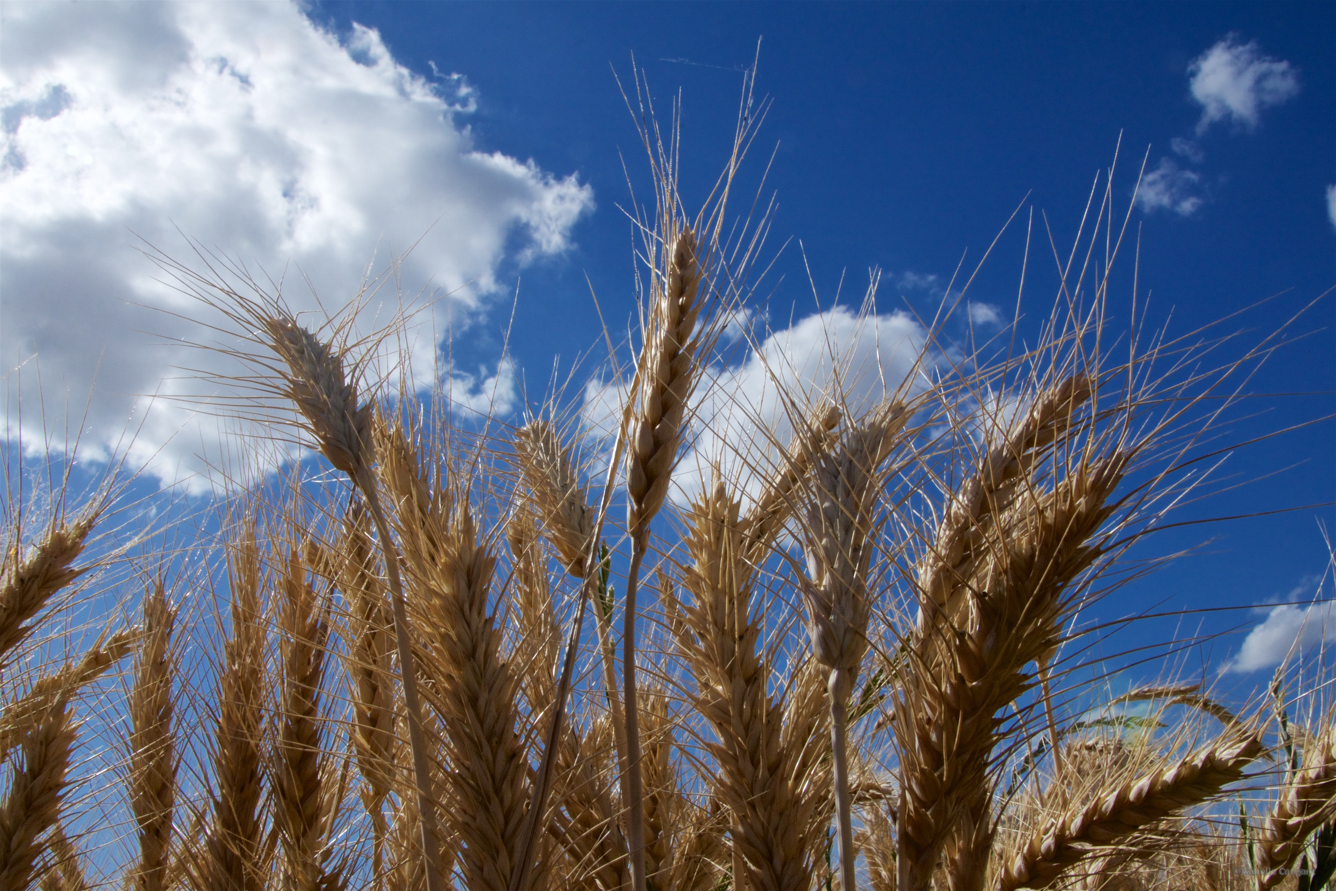 The genome sequence will lead to wheat crops with enhanced nutritional quality that are more resilient against climate change.