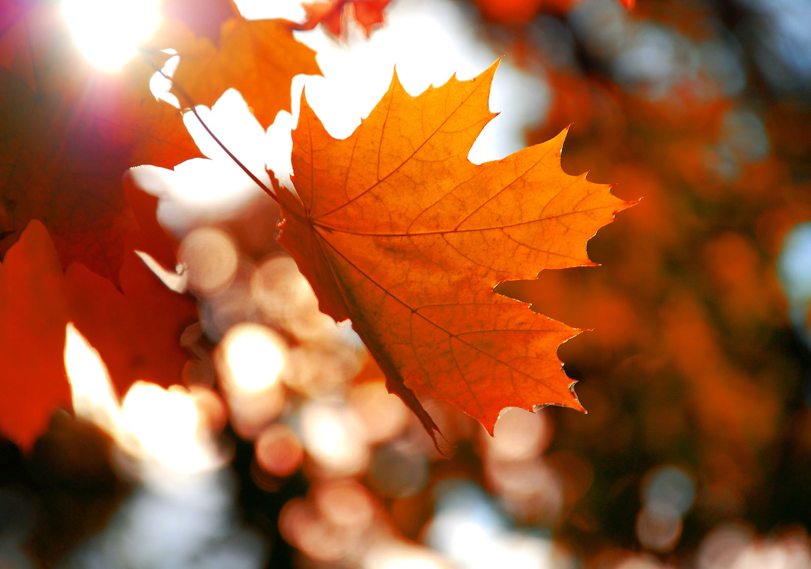 Scientists have identified an extract from red maple and sugar maple leaves that may help to prevent wrinkles.