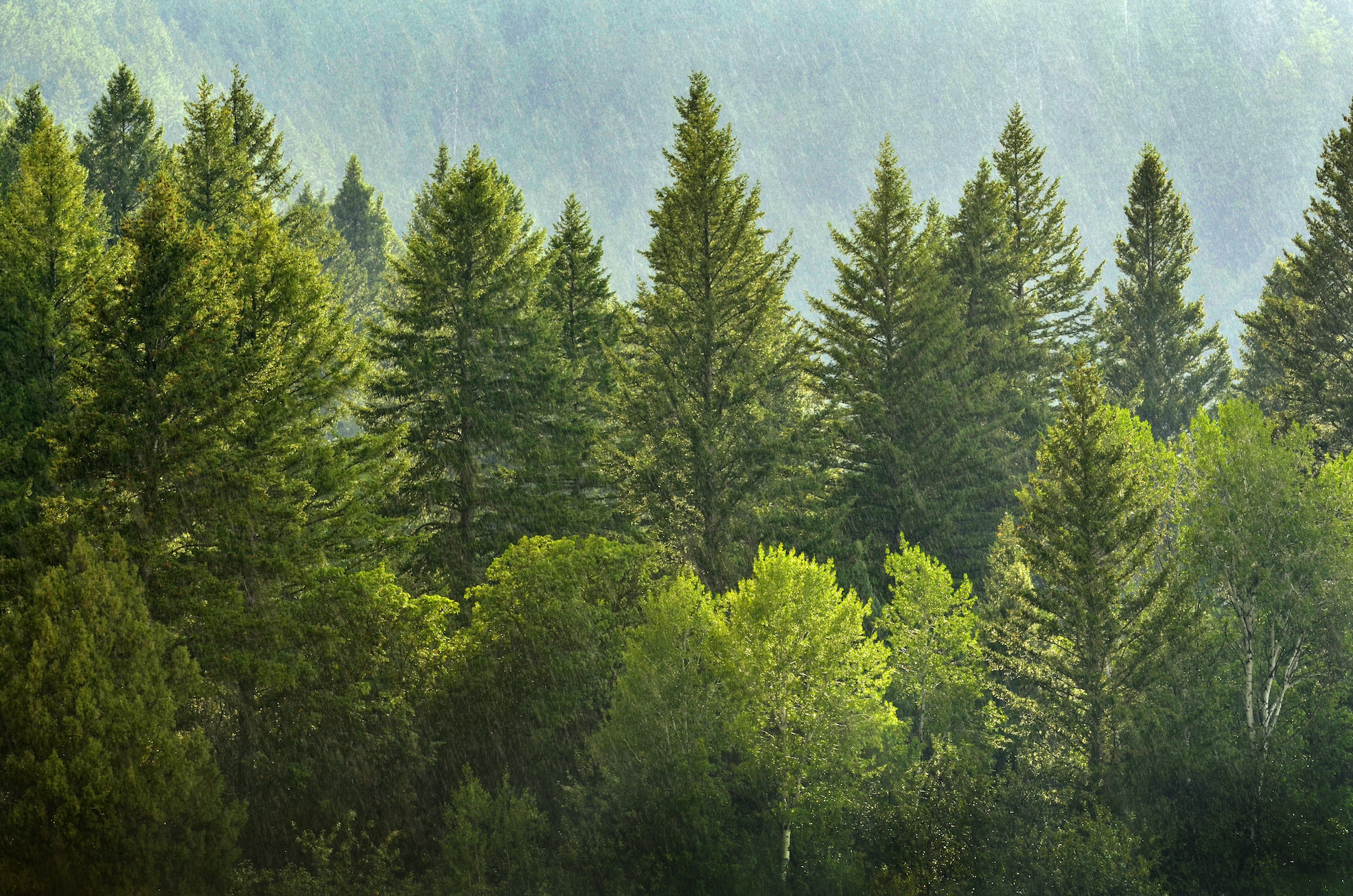 Pine trees have an unmistakable scent due to the tree's release of volatile gasses but until now, researchers were not sure why.