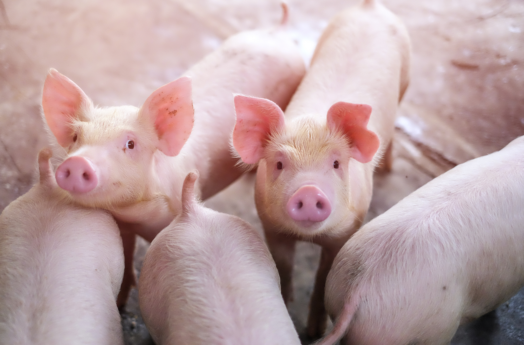 The results of a new study reveal that pigs have a better visual-based memory and intelligence than previous studies suggest.