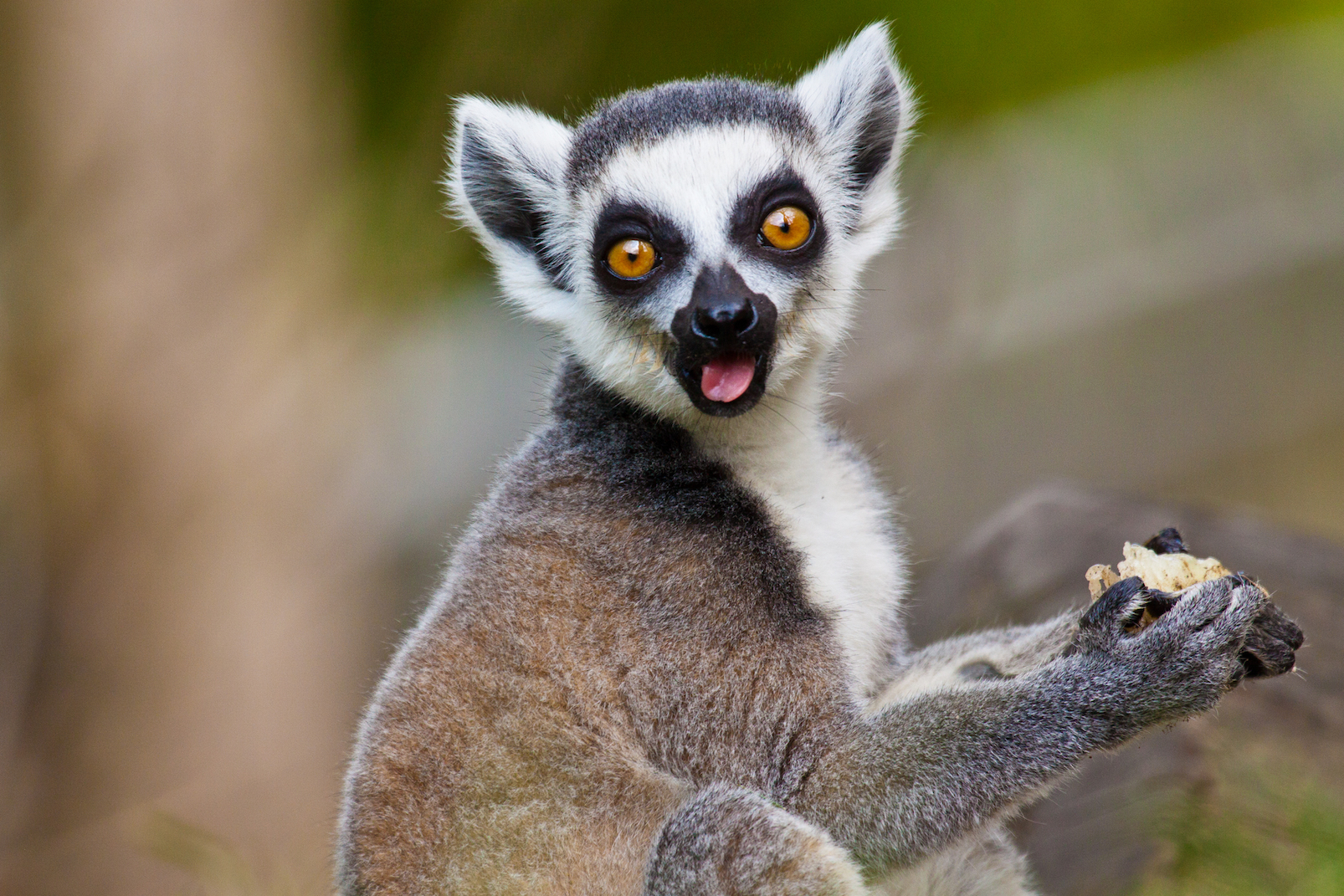 The new classification of a 20-million-year old fossil sheds insight on the evolution of lemurs and when they first populated Madagascar.The new classification of a 20-million-year old fossil sheds insight on the evolution of lemurs and when they first populated Madagascar.