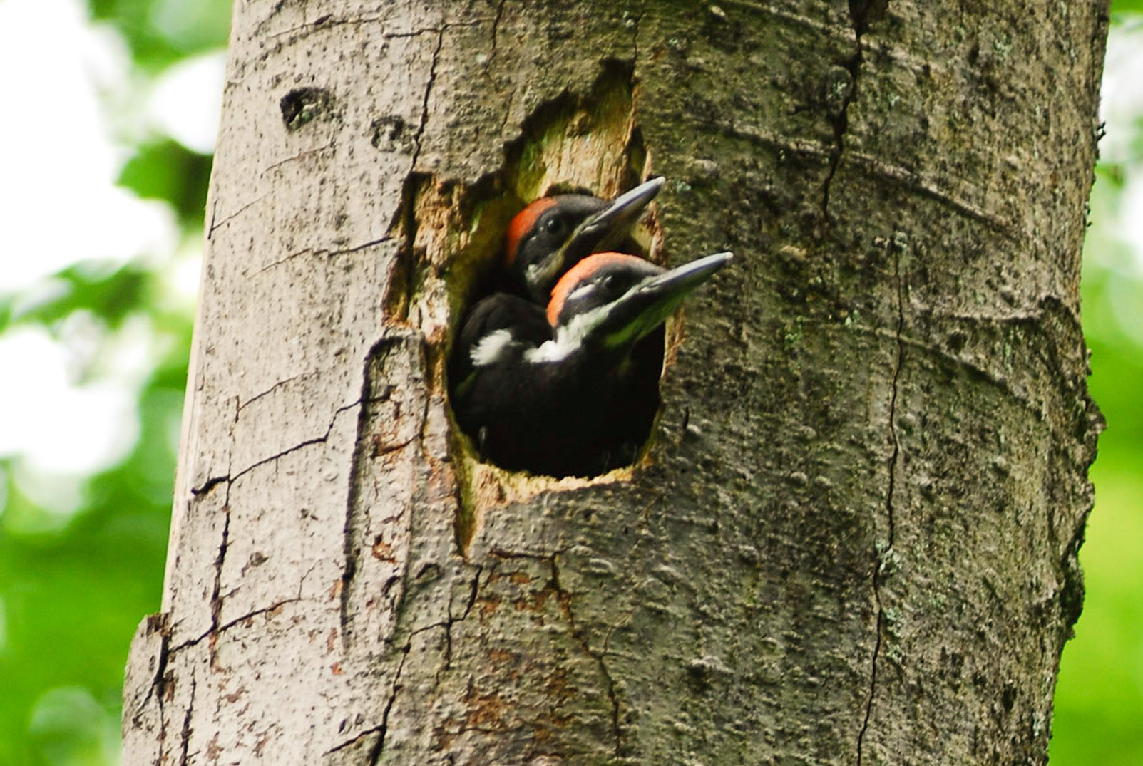 A new study reveals that woodpeckers in Seattle can coexist with developed land as long as the tree cover remains above a certain threshold.