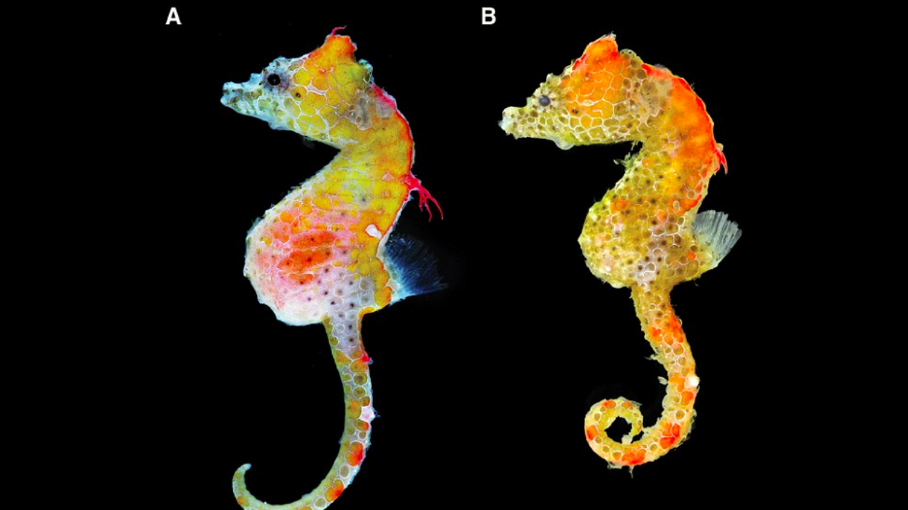 """The newly discovered """"Japan pig"""" is a pygmy seahorse that measures just about 15 millimeters in length and lives inside soft coral."""