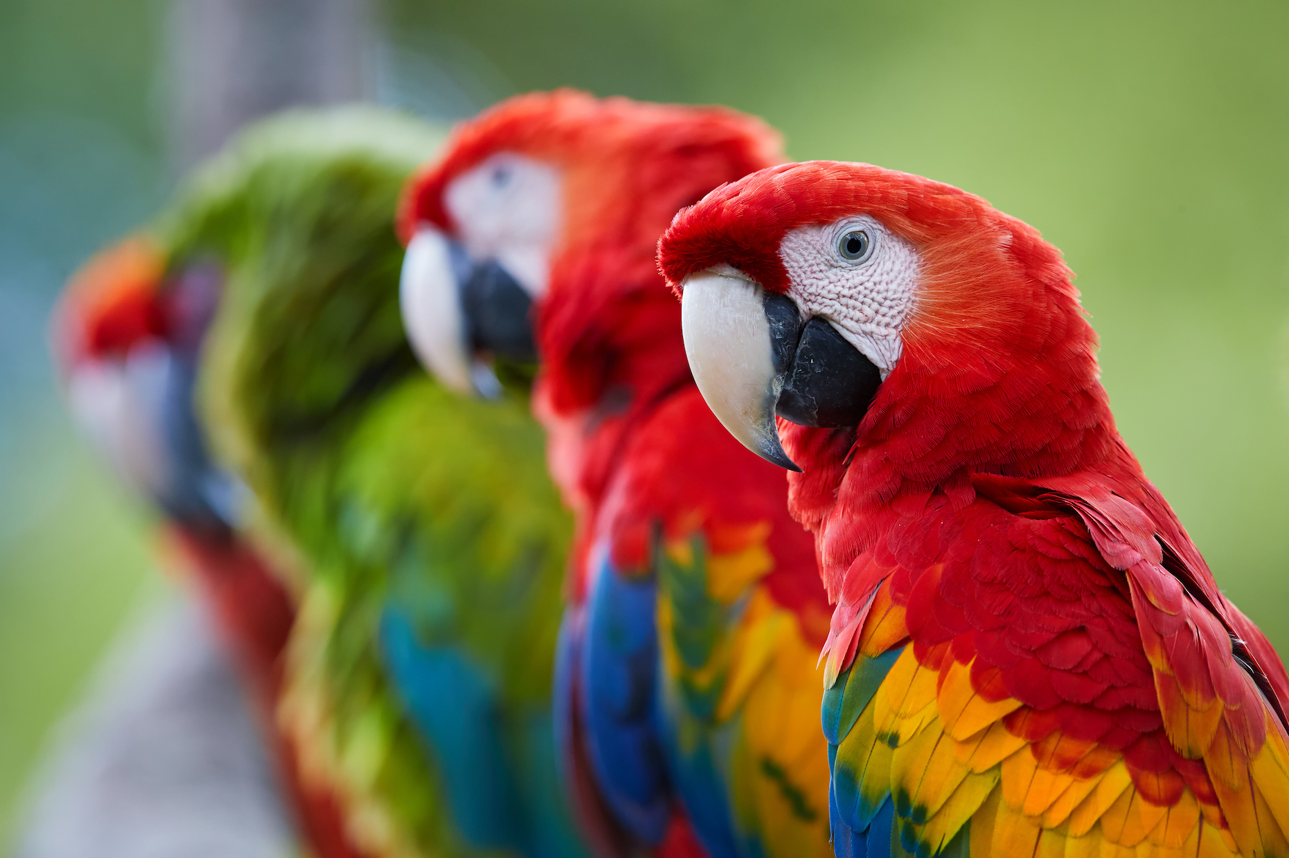 Parrots may blush and ruffle their feathers to communicate non-verbally with their caretakers and other birds.