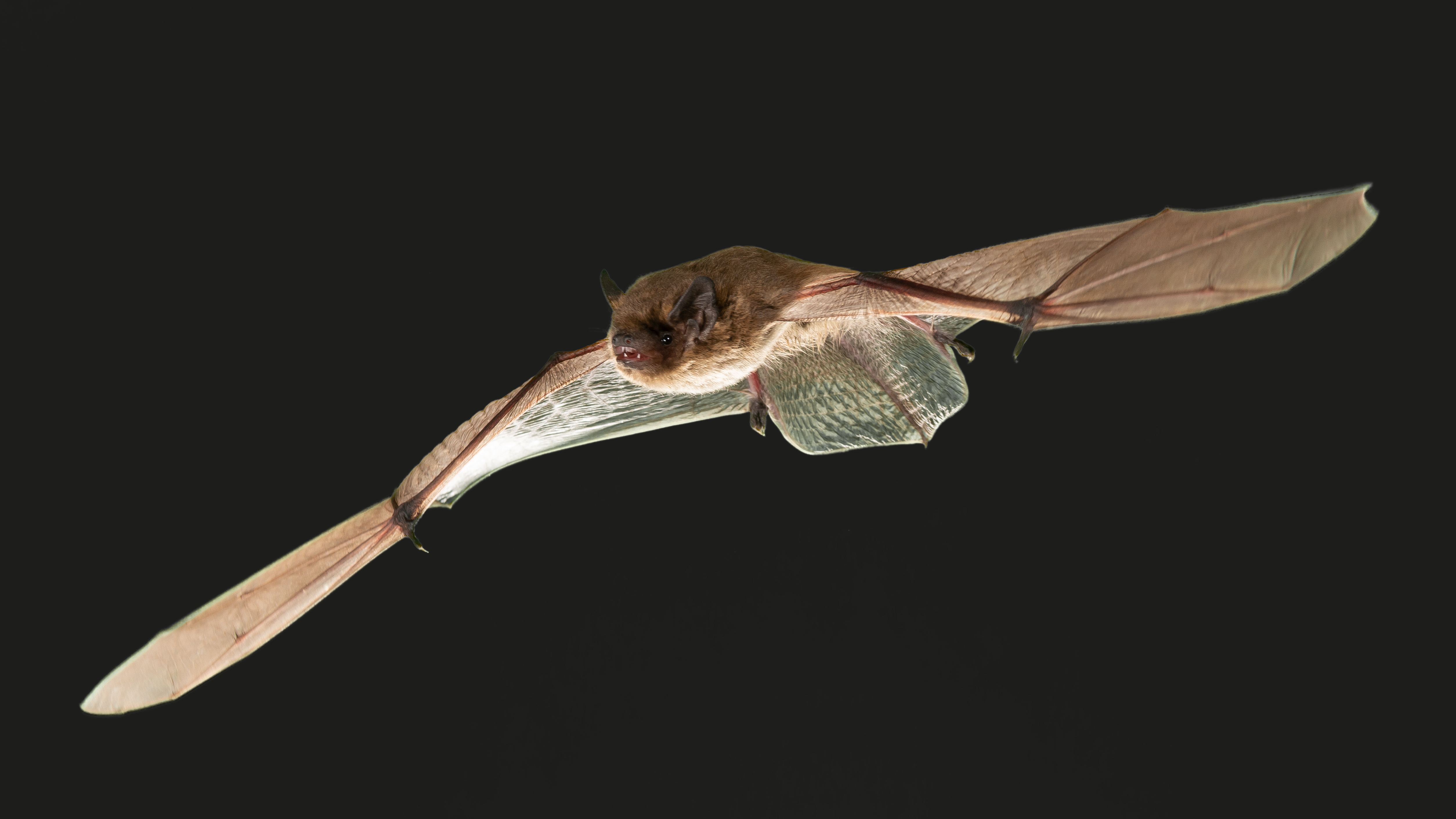 Researchers recently conducted a study examining the effects of artificial LED light on two species of migrating European bats.
