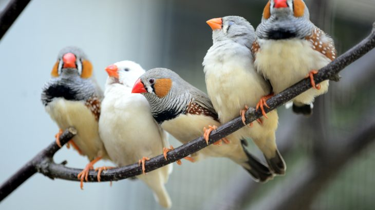 Traffic noise may be linked to an increased rate of telomere loss, which accelerates the aging process, in Zebra finches.
