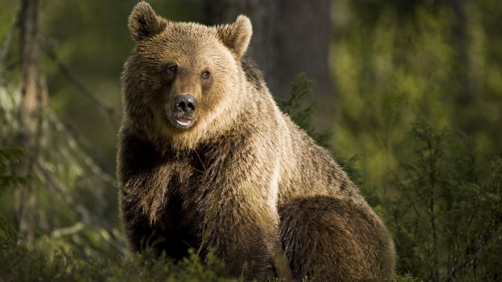 Today's brown bears have DNA that contains the ancient remnants of a long since extinct massive species of cave bear.