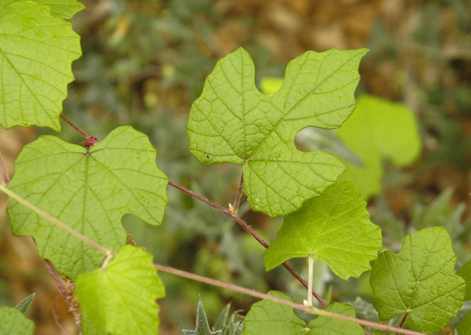 identify fruit plants grapevine