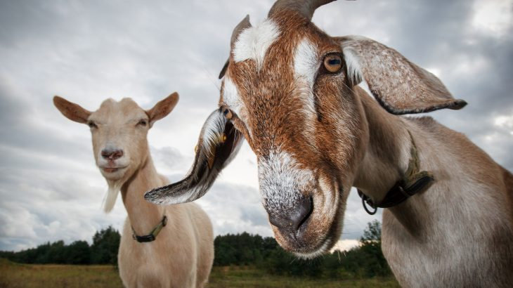 According to a new study led by scientists at Queen Mary University, goats have a preference for happy people.