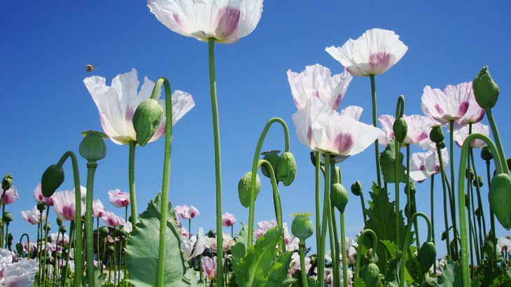 Researchers have mapped the genome of the poppy plant which could help make effective pain treatment production easier and widely accessible.