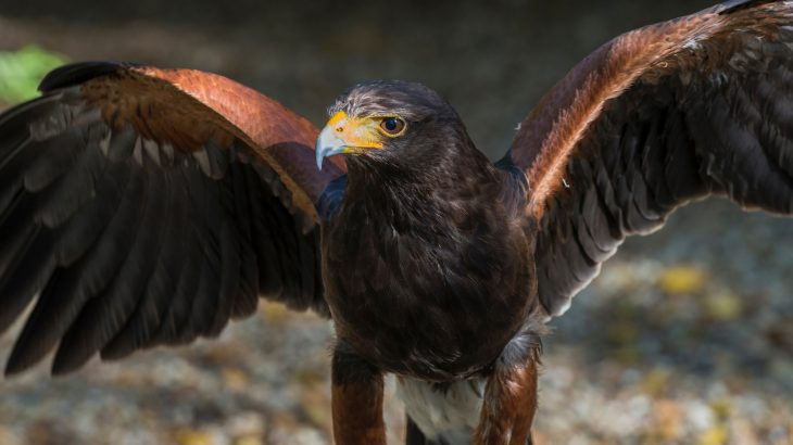 A new study from Lund University is reporting that Harris's hawks have the best color vision of any animal that has ever been tested.