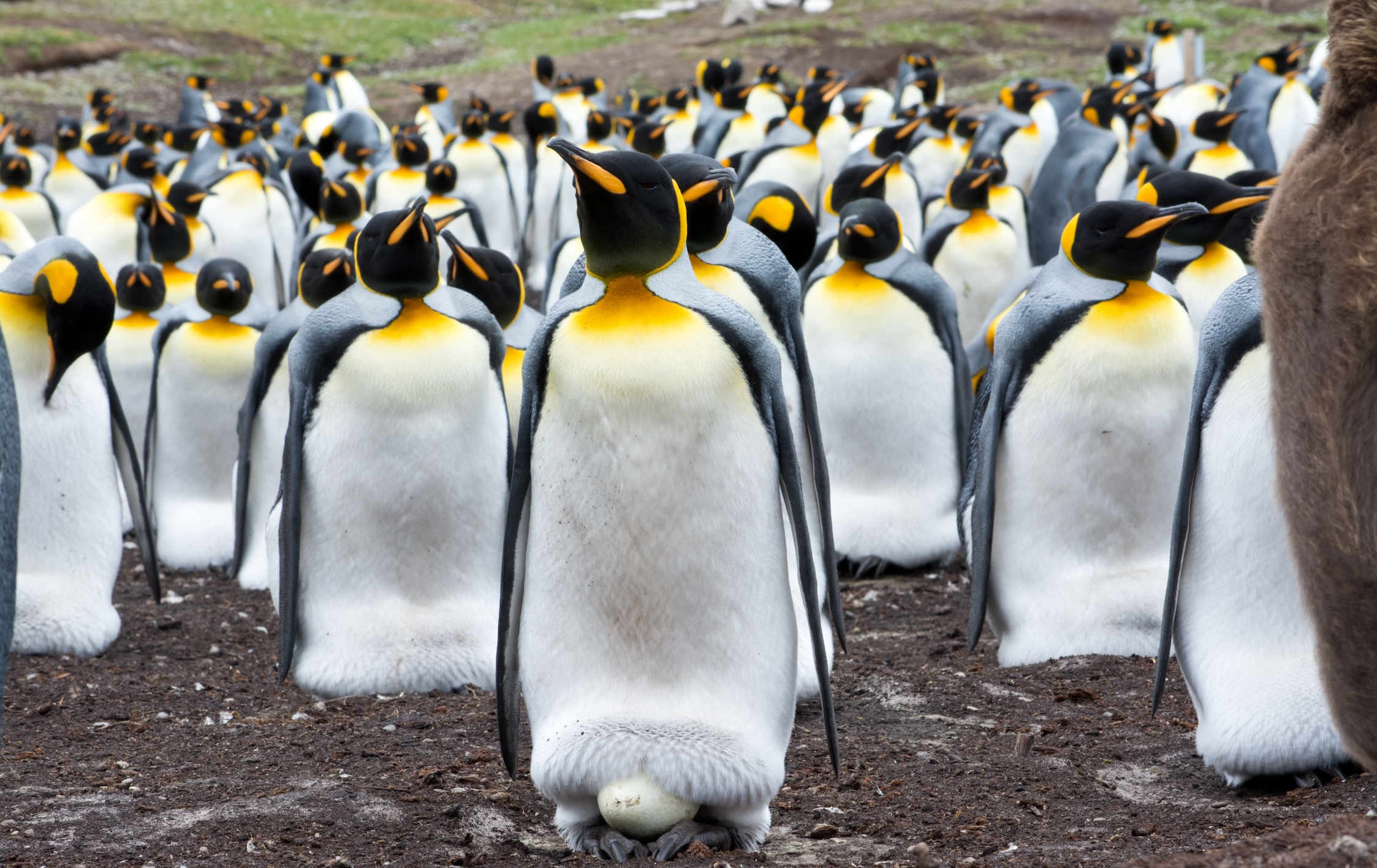 The colony of king penguins on the Île aux Cochons located in the Indian Ocean was once the largest colony of penguins in the world.