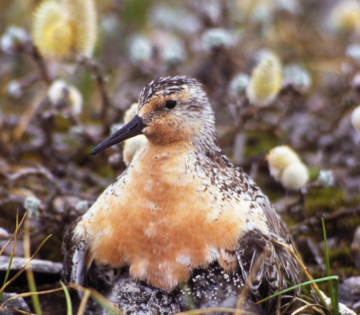 There is plenty of breeding habitat to support the population of these shorebirds today, but climate change could pose a threat in the future.