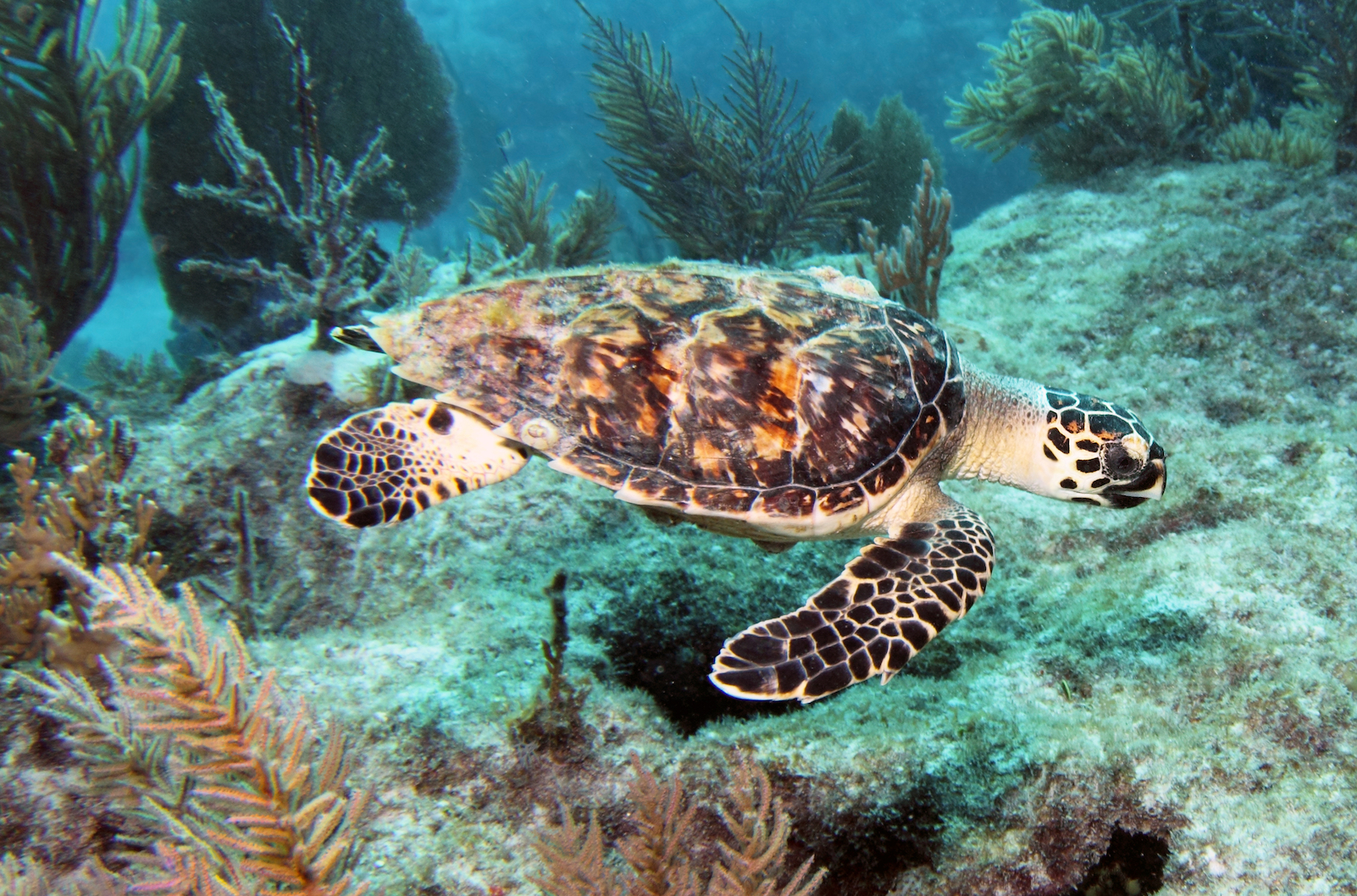 A persistent algae bloom in the Gulf of Mexico has become a huge threat to sea turtles, a species which is already endangered.