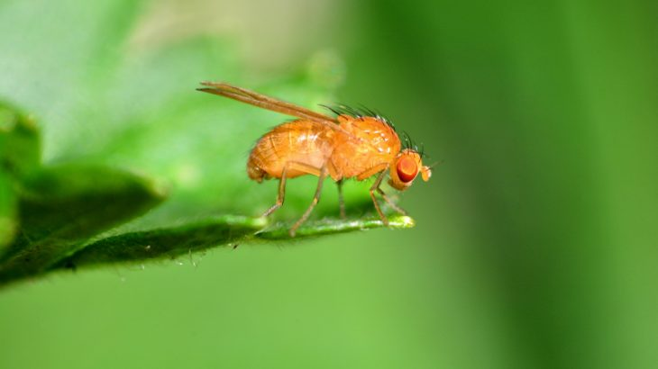 "Fruit flies can travel up to nine miles a day without getting lost, thanks to special ""compass cells"" in their brains."