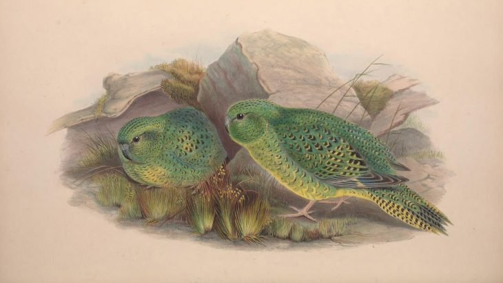The unassuming Australian night parrot has been the focus of a small but driven cadre of birders and ornithologists for decades.