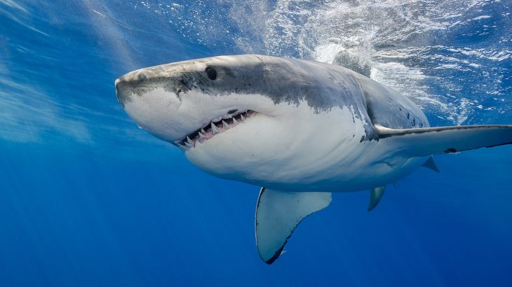 Great white shark sightings, which have become a way of life in Cape Cod this summer, are causing major concerns for the safety of swimmers.