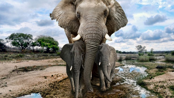 Artificial intelligence (AI) is now being applied to data from acoustic sensors to help protect elephants in the African forest.