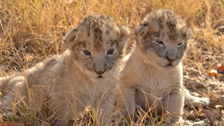 The birth of lion cubs at the Ukutulu Game Reserve and Conservation Centre in South Africa via artificial insemination may help save big cats.